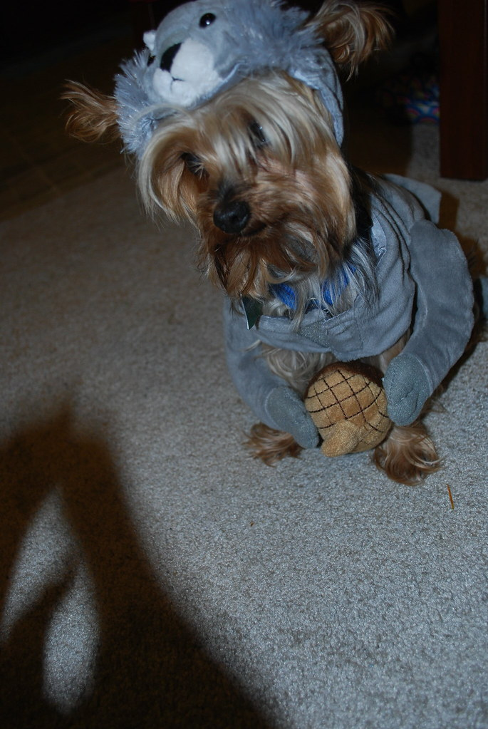 Handsome Squirrel DOg (Jenny?Couture) Tags halloween yorkie giant costume squirrel yorkshire & The Worldu0027s Best Photos of costume and yorkie - Flickr Hive Mind