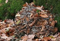 Hen of the Woods fungus