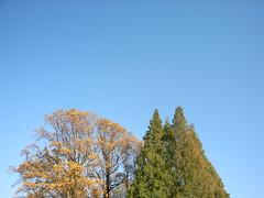 091121  () Tags: yellow japan shinjuku    metasequoia shinjukugyoen autumncolor dawnredwood
