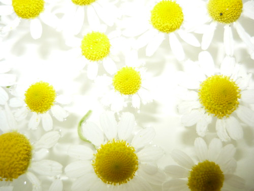 manzanillas en semillas