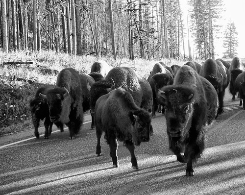 east entrance bison