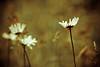 snowlessneressness (harold.lloyd) Tags: bokeh daisy nosnow snowless daisery completelackofsnow