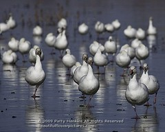 snow_geese_bosque_8145 (PattyHankins) Tags: bosquedelapache snowgeese