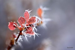 Frosted Macro (Don3rdSE) Tags: winter red snow cold macro nature leaves fog closeup canon eos natural bokeh hoarfrost january iowa ia clive 2010 iceneedles 50d canon50d softrime don3rdse