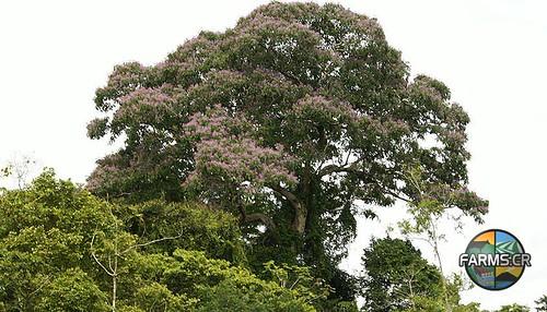 Dipterix oleifera o panamensis