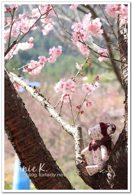 小熊武陵櫻花1