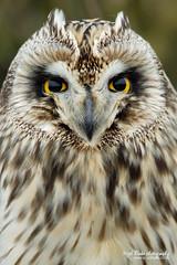 Short-eared Owl Asio flammeus (Nigel Blake, 14 MILLION...Yay! Many thanks!) Tags: bird history nature birds canon photography eos natural wildlife owl blake nigel owls asio shorteared flammeus
