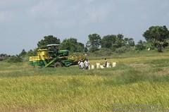 Harvesting paddy