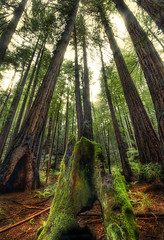 The Giants in the Muir Woods