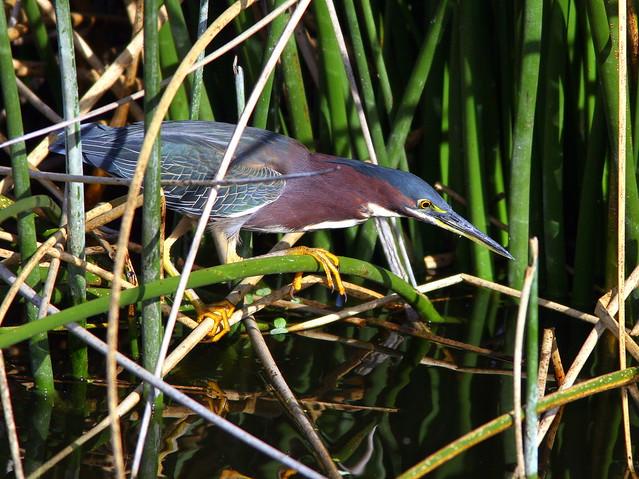 Green Heron 20100301
