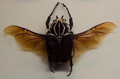Goliathus regius (Sebastian Niedlich (Grabthar)) Tags: berlin animal museum germany insect deutschland nikon beetle sigma museumofnaturalhistory 2010 kfer feb10 berlinmitte d90 museumfrnaturkunde goliathbeetle goliathkfer naturkundemuseum grabthar goliathus sebastianniedlich nikond90 sigma182003563dcos goliathusregius