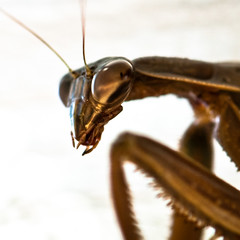 thinking of you (nosha) Tags: november usa macro fall beautiful beauty bug mantis insect newjersey bokeh pray praying nj jersey 2009 prayingmantis carnivore lightroom f63 105mm 105mmf28 blackmagic nosha 1200sec fall2009 nikond300 1200secatf63 ul20091128