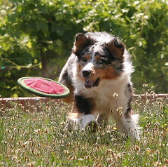 I've Got It! (**El-Len**) Tags: dog play explore frisbee australianshepherd fav10 platinumheartaward explorewinnersoftheworld