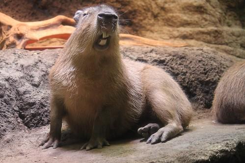 海遊館のカピバラ Capybara