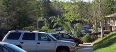 Downed pine tree