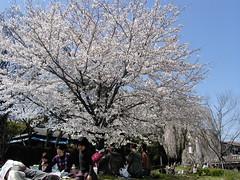 桜 CONTAX TVS DIGITAL