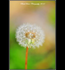 ~~~~ () Tags: white flower green nature beautiful photography nikon rich taiwan 100mm dandelion tokina marco taoyuan   d90  nikond90