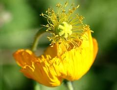 Happy Go Lucky!!! (bigbrowneyez) Tags: sunshine beforeafter greenyellow lemonyellow canonmacro happygolucky flowerstamen flickrnature poppycenter brightpoppy
