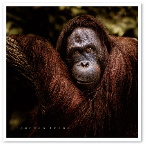 Singapore Zoo - Orang Utan (by TOONMAN_blchin)