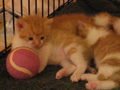 Stra-a-a-aych (Wrinkles) (hqqnW) Tags: old orange video kitten 4 kittens sleepy calico weeks stretching