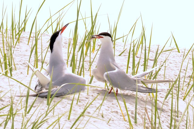 terns share minnow