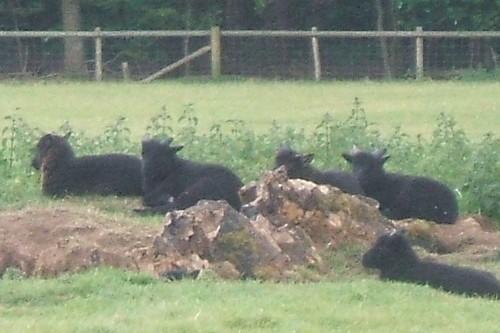 Hebridean lambs