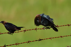 Awkward Cowbird DSC_9444 by Mully410 * Images