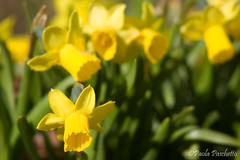 Narcisi (Paopask) Tags: narciso daffodill narcisi
