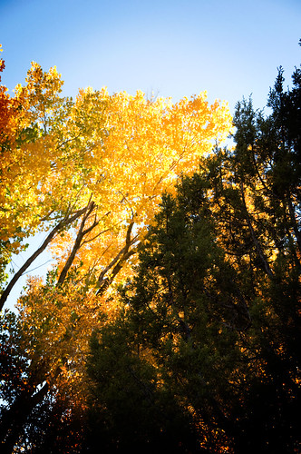 cottonwoods aglow