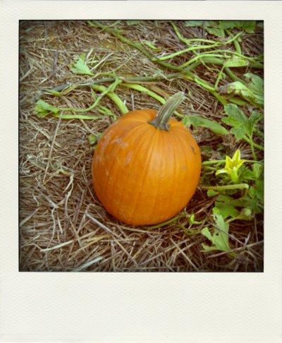 pumpkin pola