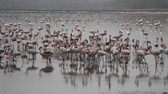 (Molly Alice) Tags: africa lake kenya safari flamingoe