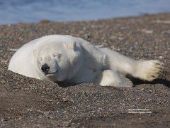 Monday morning bear_Q2E3055 (bud_marschner) Tags: alaska polarbear kaktovik 2010calendar