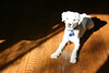 Dinky and the morning sun (Graustark) Tags: dog white sunshine digital 28135 dinky xti ratapoo ratterrierpoodlemix