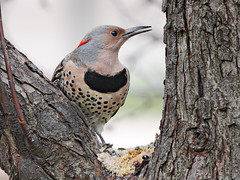 Female Northern Flicker (Tony Tanoury) Tags: wild bird nature animal closeup fauna bill woodpecker michigan wildlife beak feather legacy ornithology suet avian northernflicker colaptesauratus bej avianexcellence femaleredbelliedwoodpecker femalenorthernflicker vosplusbellesphotos
