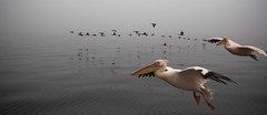 2009-08-27 Swakopmund 015 (blogmulo) Tags: ocean africa travel sea birds bay fly flight pelican viajes pajaros namibia 2009 walvis oceano vuelo swakopmund walvisbay pelicano volar blogmulo