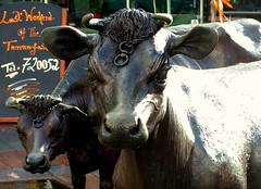 Jersey Cow Statue in St Helier