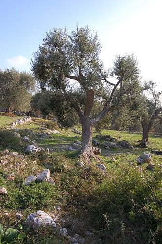 Picking olives in Trulli-land