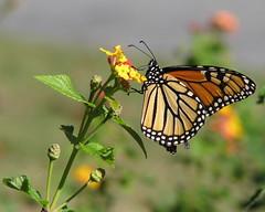 Monarch on lantana (Vicki's Nature) Tags: orange yard canon butterfly georgia bokeh monarch lantana s5 naturesfinest digitalcameraclub colorphotoaward 15challengeswinner natureoutpost vickisnature 100commentgroup vosplusbellesphotos bwcgbutterflies bwcgm bwcgxmaors bwcglorm getmedal bwcglmn 15challengeswheniwasachild
