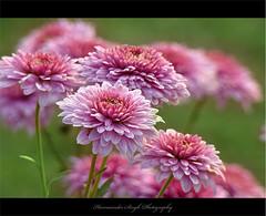 Flower Highway (Harvarinder Singh) Tags: flower nature thebestofday gnneniyisi