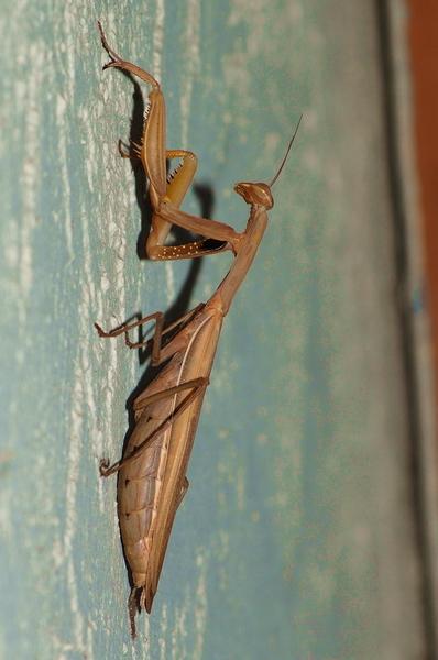 mantis2 campolo