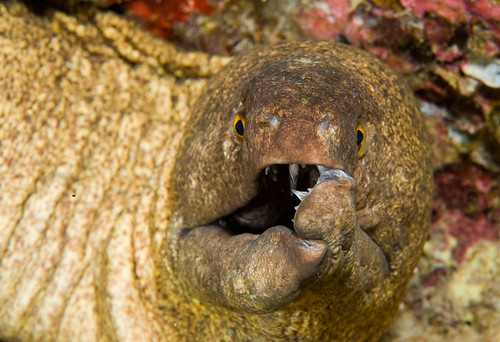 Bowser the Yellowmargin Moray