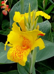 Far from Yellow. Canna indica, KLCC Gardens, Kuala Lumpur, Malaysia (Rana Pipiens) Tags: yellow malaysia rosary kualalumpur 1001nights klcc naturesfinest cowardice johnparkinson fantasticflower caroluslinnaeus indianshot flickraward diamondclassphotographer flickrdiamond ishflickr theperfectphotographer maximilianii carolusclusius yellowcannaindica commonindianreed kingcharlesiengland hortusacademicusleidenthenetherlands