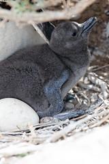 baudchon-baluchon-pinguins-5