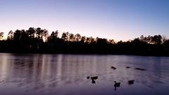 P1010684 (jfc1005) Tags: lake blur birds silhouette reflections dark lumix geese nc long exposure ducks raleigh lynn fz38 fz35