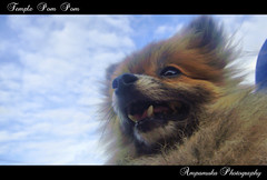 Temple Pom Pom /  (AmpamukA) Tags: sky dog pet cute tooth puppy temple pom teeth pompom       ampamuka