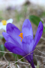 Macro of violet field flower with orange pistil