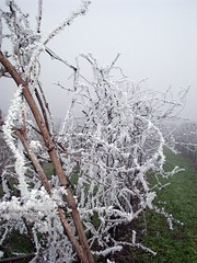 brina sulle vigne - frost on the vines