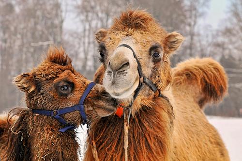 フリー画像| 動物写真| 哺乳類| ラクダ| 親子/家族|       フリー素材|