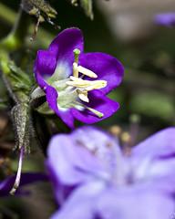 Freshly Burst (PAL1970) Tags: flower macro canon eos purple bokeh guatemala flor tobacco nicotiana tabaco morado purpura 50d pal1970