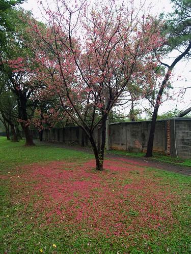 太晚來拍了,一地的櫻花